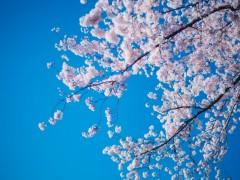 ドローンで桜を撮ると通報される?危険が伴うドローン迷惑者にならないために