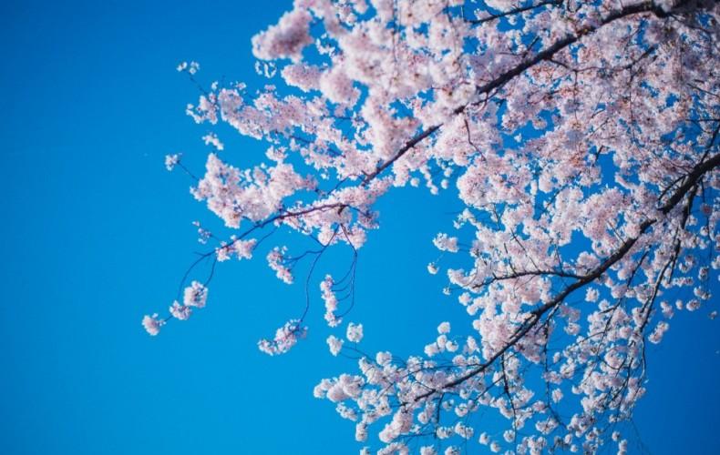 通報する!?桜をドローンで撮っている迷惑者の対処法。