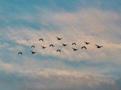 鳥はドローンを攻撃してくる?注意すべき鳥は…トンビそれともカラス?
